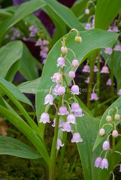 Buy and grow pink lily of the valley a perennial spring flower buy and grow pink lily of the valley a perennial spring flower pinterest pink lily perennials and spring flowers mightylinksfo