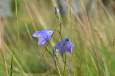 Northumbrian harebells in the Harthope Valley