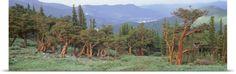 Poster Print Wall Art Print entitled Colorado, Bristlecone pine tree on the landscape, None