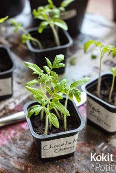 Kokit ja Potit: Tomaatin kasvatus - taimien koulinta ja lannoitus