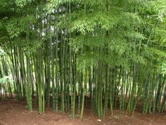 I want bamboo at our new place! Bamboo Garden: A site with tips for growing bamboo of different types Privacy Landscaping, Garden Landscaping, Cerca Natural, Growing Bamboo, Bamboo Screening, Bamboo Plants, Bamboo Wall, Bamboo Privacy Fence, Indoor Bamboo