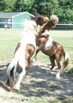 Our mini horses wrestling