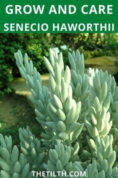 Senecio Haworthii (Cocoon Plant). Types Of Succulents, Succulent Care, Propagation, Yellow Flowers, Perennials, Roots, Plants, Plant, Perennial