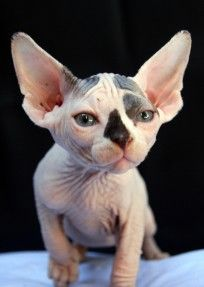 I don't think I'm being too ridiculous when I say that I would marry the first man who bought me a sphynx.