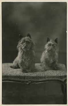 cairn terrier , - Charming RPPC of two dogs sitting. Old photo. Cairn Terriers, Terrier Dogs, Scottish Terriers, Dog Photos, Dog Pictures, Vintage Pictures, Cairns, Australian Terrier, Vintage Dog