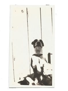 Boston Terrier - Vintage Photo - Overexposed Dog Photo - Rat Terrier - Black & White Dog - Vintage Snapshot -Original Found Photo by SunshineVintagePhoto on Etsy https://www.etsy.com/listing/385584616/boston-terrier-vintage-photo-overexposed