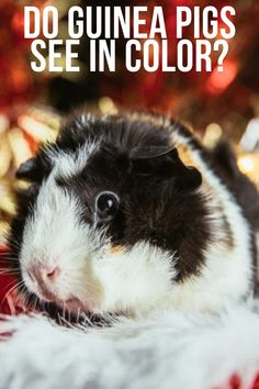 Do guinea pigs see straight? Let's explore this topic further. Guinea Pig Care, Guinea Pigs, Emotional Support Animal, Hamsters, Raisin, The Darkest, Advice, Explore, Animals