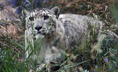 "The conservation status of the elusive snow leopard is downgraded from ""endangered"" to ""vulnerable""."