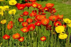 Valmuer | Sådan dyrker du valmuerplanter i din have | idényt Planters, Activities, Flowers, Summer, Inspiration, Outdoor Ideas, English, Lawn And Garden, Biblical Inspiration