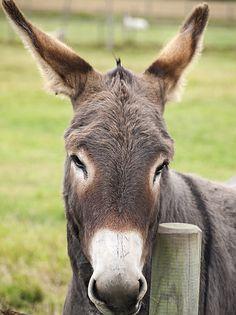 Donkey - Hardy's Animal Farm, Skegness.