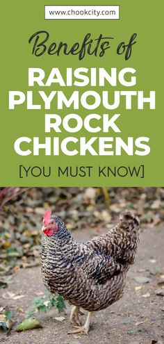 One of the benefits of keeping a Plymouth Rock chicken in your coop is that it is pretty easy to raise. These chicken do well with other members and are suitable for families with other pets in the backyard. In fact, they are amazing lap chicken, making them some of the most popular as pet chickens… . . . #ChookCity #Chicken #RaiseChickens #BackyardChickens #UrbanGarden #UrbanHomestead #Homestead #ChickenLove #Chickenlife #FarmLife #Chickens #PlymouthRockChicken Chicken Facts, Chicken Life, Chicken Runs, Raising Quail, Raising Ducks, Raising Chickens, Backyard Birds, Chickens Backyard, Barred Plymouth Rock Chickens