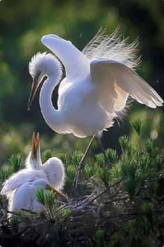 Great White Egret (Ardea alba) and her nest full of chicks. Identify by orange beak, green patch by eye, and black feet and legs. Little Birds, Love Birds, Beautiful Birds, Animals Beautiful, Beautiful Pictures, Tropical Birds, Colorful Birds, Animals And Pets, Cute Animals