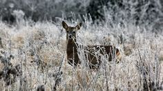 A brown deer stands amongst frosted vegetation, looking directly at the camera.