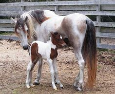 ocracoke ponies - I saw the foal in the picture but grown up.