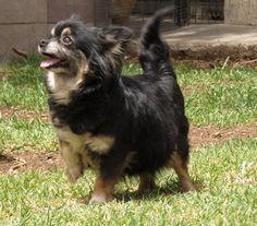 Chihuahua con cara tierna