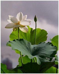 Lotus Leaf... pretty