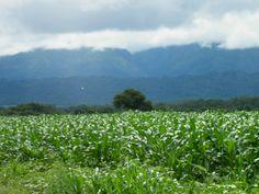 Corn Crop de Rosario de la Frontera/Salta