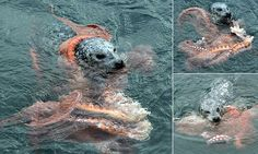 Photographer captures 10-minute struggle between seal and octopus