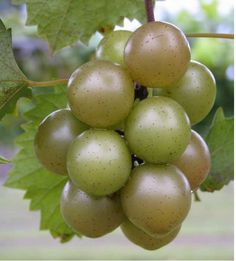 Guide from NCSU on propagating muscadine grape vines
