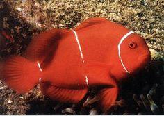 *Spine Cheek Anemonefish(Premnas biaculeatus)