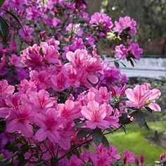 "i have several ""Formosa"" Azaleas. They've always been vigorous healthy shrubs & prolific bloomers in my California yard!"