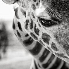 Sad giraffe..