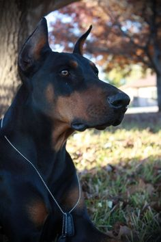 Doberman pincher. Beautiful and don't mess with his home or owner...