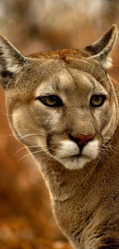 The cougar (Puma concolor), also known as the mountain lion, puma, panther, painter, mountain cat, or catamount, is a large cat of the family Felidae native to the Americas. Its range, from the Canadian Yukon to the southern Andes of South America, is the greatest of any large wild terrestrial mammal in the Western Hemisphere.