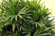 Rhapis Palm and other central Florida shade plants