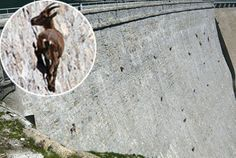 The mountain goats are actually climbing up a dam and licking the minerals off of the wall.