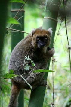 Greater Bamboo Lemur Types Of Animals, Animals Of The World, Zoo Animals, Animals And Pets, Exotic Pets, Exotic Animals, Especie Animal, Lemur, Primates
