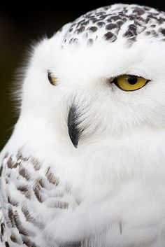 shared via nutiva.com - #beautiful #owl - imagine how it would look in the snow!