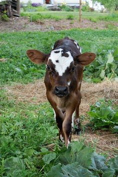 Are there mini cows like there are horses and pigs? I really want a let cow. Her name would be Betsy!! :3
