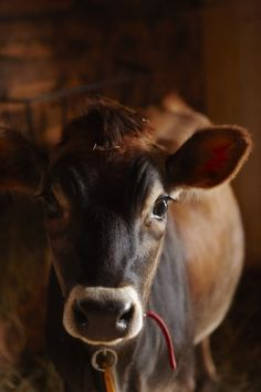 Cow at Animal Farm Orwell, Vermont © 2015 / Photograph by Colin Clark Animal Farm Orwell, Farm Animals, Animals And Pets, Cute Animals, Wild Animals, Beautiful Creatures, Animals Beautiful, Hello Beautiful, Beautiful Eyes
