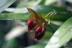 Bulbophyllum subumbellatum 'Red Lips'