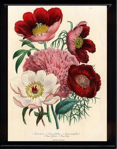 BOTANICAL PRINT Loudon Flower 8x10 Botanical Art Print 1 Beautiful Peony Peonies Bouquet Paeonia albilflora Pink White Red Spring Garden on Etsy, $10.00