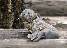 Baby Harbor Seal – Poulsbo The entry below mentions a story about a baby Harbor Seal reported to have been born on the dock in Poulsbo yesterday. Seal Pup, Baby Seal, Animals And Pets, Cute Animals, Cute Seals, Harbor Seal, Underwater Sea, Sea Lions, Ocean Creatures