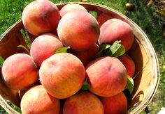 Fresh Peaches -Brook Lawn Farm, Lancaster County, PA    Google Image Result for http://brooklawnfarmmarket.com/images/Lancaster_County_Peach_Orchard_Harvest.jpg