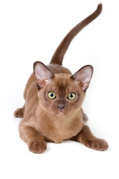 The roots of the Burmese cat date back to the century and possibly even earlier. A Thai manuscript called Cat-Book of Poems describes this cat breed as supalak or copper cat. Cute Cats And Kittens, I Love Cats, Crazy Cats, Cool Cats, Burmese Kittens, Tonkinese Cat, Brown Cat, Cat Facts, Funny Cats