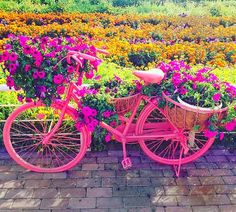 Each and every urban bicycle at the Dubai Miracle Garden is beautifully integrated with one particular scheme of flowers. For example pink color bicycle will have pink colored petunia flowers and yellow will have yellow petunias. Petunia Flower, Geranium Flower, Million Flowers, Miracle Garden, Floral Theme, Large Flowers, Petunias, Go Green, Geraniums
