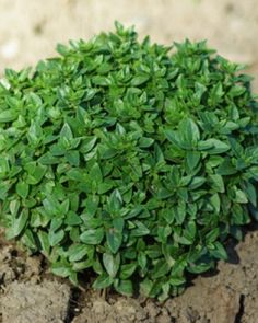 Zimtbasilikum Cinnamon Basil Samen  Ocimum basilicum 200