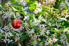 Christmas in Summer; Bauble on the Jasmine Flower royalty-free stock photo Australia Photos, Kiwiana, Turquoise Water, Christmas Background, Christmas Baubles, Flower Photos, Flower Wall, Image Now, Jasmine