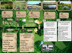 A wetland is a land area that is saturated with water, either permanently or seasonally, such that it takes on the characteristics of a distinct ecosystem. The primary factor that distinguishes wetlands from other land forms or water bodies is the characteristic vegetation of aquatic plants, adapted to the unique hydric soil. #glogster #glogpedia #wetland
