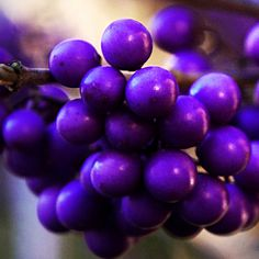 Beautyberries ~ Intense fall berry color. ~ Photography by Rotraud_71, via Flickr