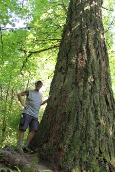 An old growth Douglas Fir on the Wildwood Trail in Forest Park, Portland, Oregon....almost right downtown!  My wife, Christina, took this one.