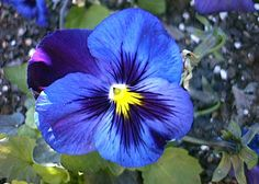Pansy Plant Leaves | Various Cultivars of the Pansy Inflorescence