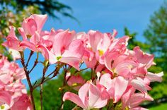 The flowers of spring: Dogwood