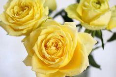 Rio de Janeiro Rose from the Tambuzi Farm in Kenya. Easy order garden roses online @ www.parfumflowercompany.com