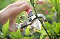 10 COMMON TREE PRUNING MISTAKES - with tips and advice on how to correct the mistake.  (garden-trends.com)