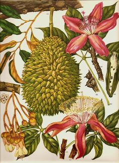 Vintage 1970 Color Art Print Wild Flowers Book PLATE 115 Beautiful Large Green Tropical Fruit Orchid Pink Flowers Tree Branches.